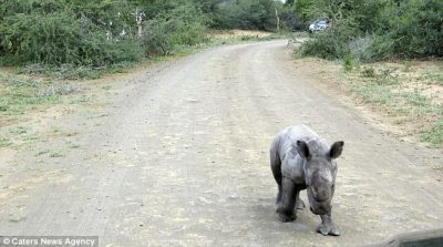Adorable South African baby rhino charges at tourist's car   Daily Mail Online