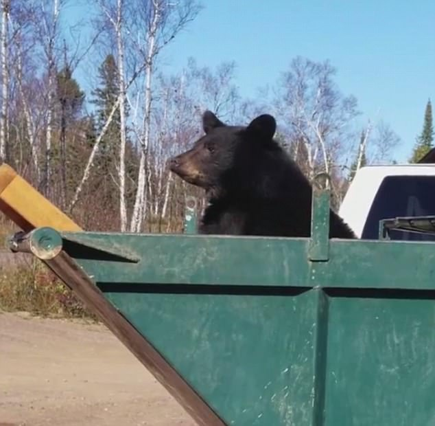 Two Bear Cubs Stuck In A Dumpster Rescued With Ladder