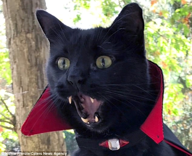 Cat 39vampire39 With Unusual Fangs Dresses Up For Halloween