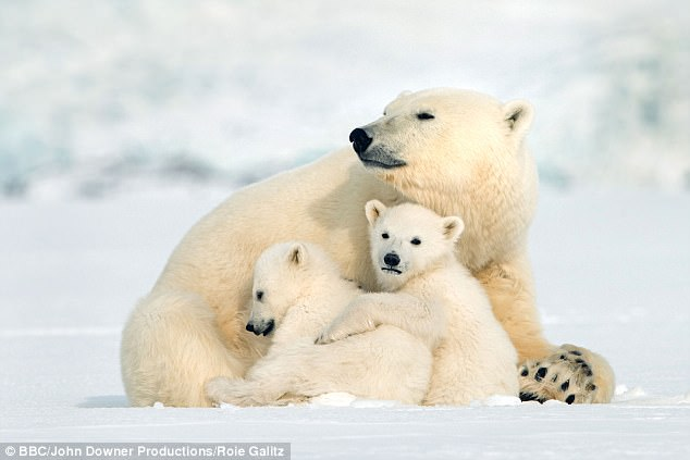 Spring Animal Wallpaper Bbc Documentary Of Polar Bear Cubs On 400 Mile Journey