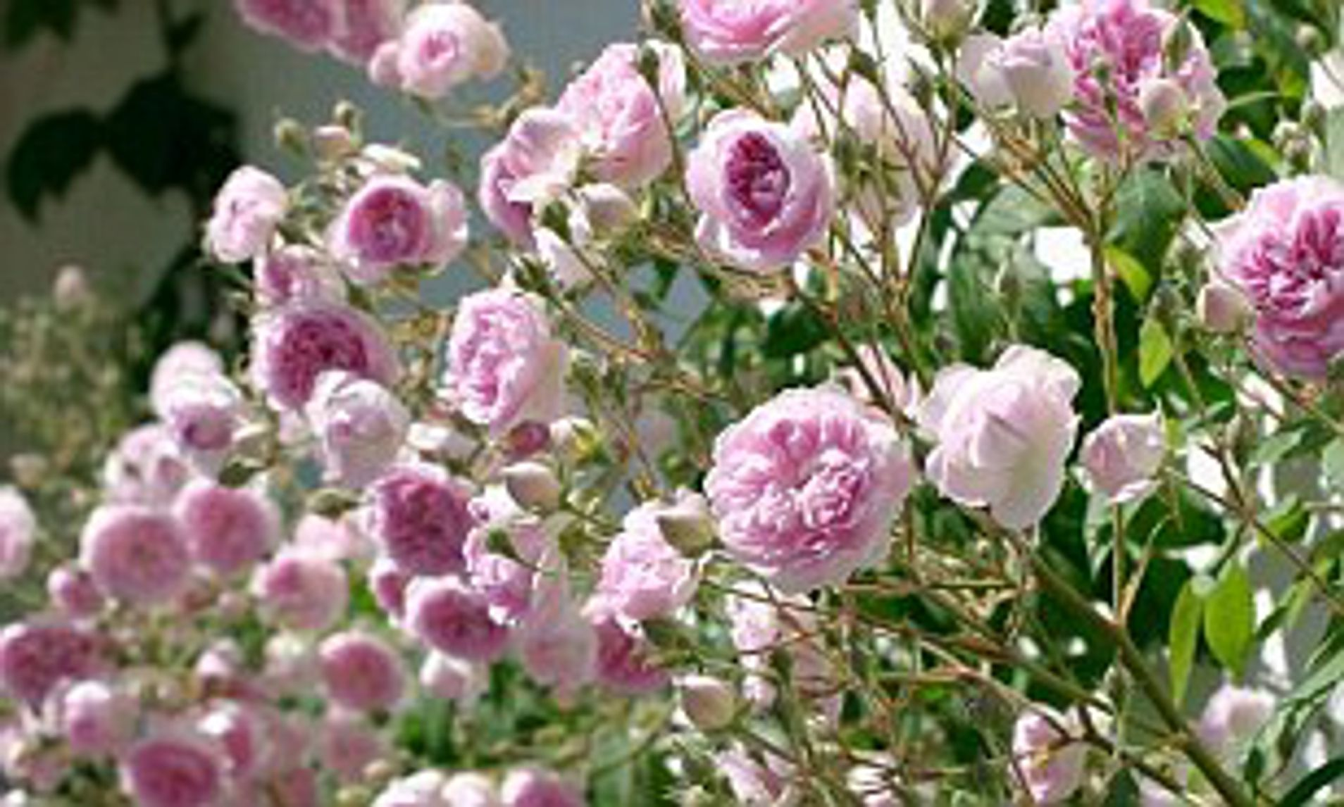 Alister Stella Grey Rose The Runaway Roses Now S The Time To Prune Your Rambling Or