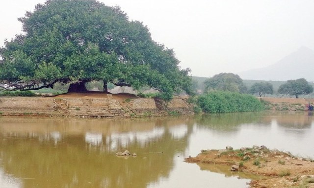 An old banyan tree stands at the bank of a pond in Minhala village.