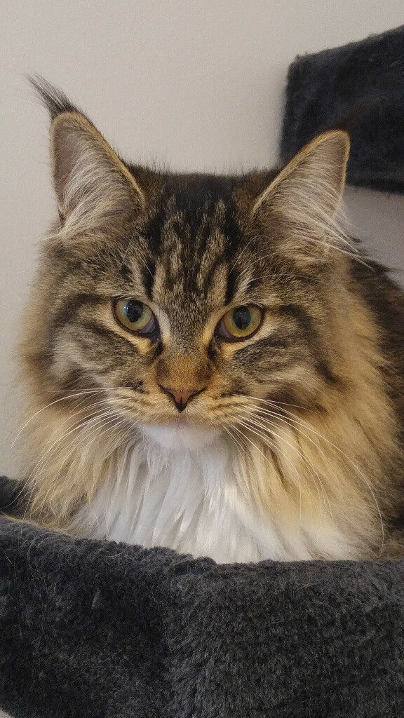 Sofa For Sale Portsmouth Gumtree Sold-beautiful Maine Coon Female Kitten For Sale | In