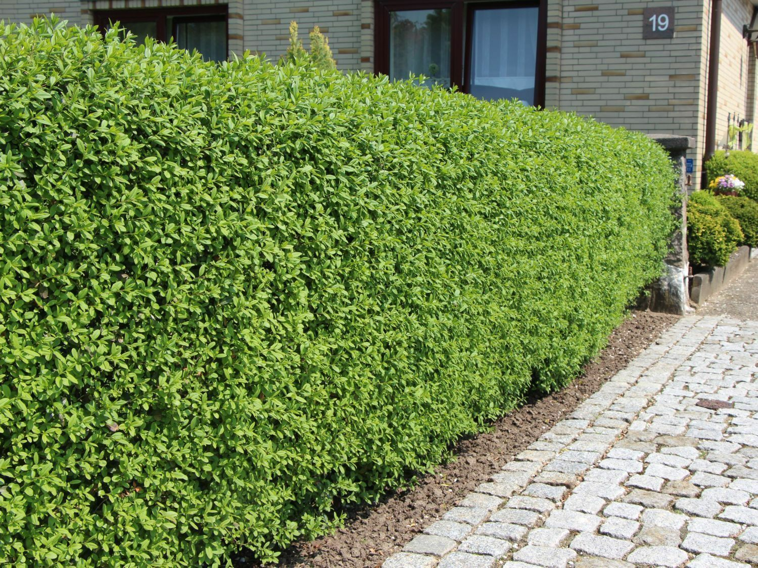 Liguster Pflanze Rätsel 10 Wild Privet Hedging Ligustrum Plants Hedge 40-60cm