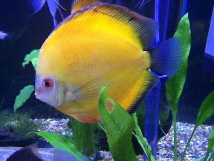 imported discus for sale | Fish | Gumtree Australia Maribyrnong