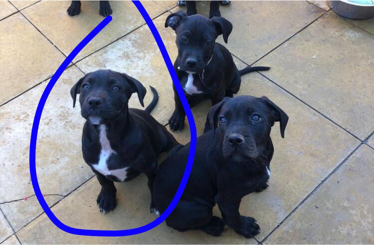 Cat Cage Gumtree Cane Corso X American Bully😍 In Ealing London Gumtree