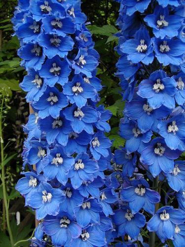 Blue Flower Bulbs Delphinium Plants | Ebay