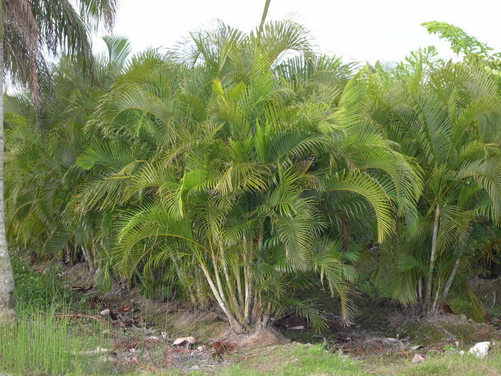 Palm Areca How To Grow Areca Palm Ebay