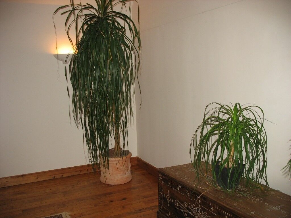 Tall Indoor Plants With Big Leaves 3no Large House Plants In Duns Scottish Borders Gumtree