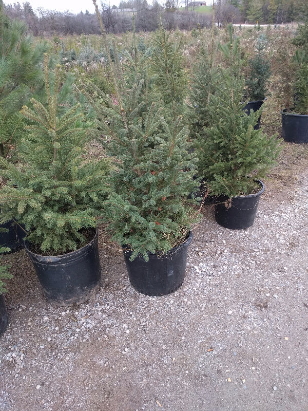 Car Safety Kijiji Trees For Sale Other Guelph Kijiji