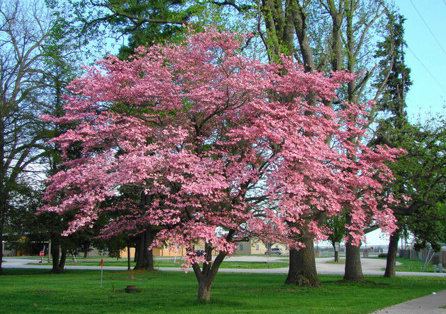 Cornus Florida Rubra Pink Flowering Dogwood Southern 25