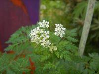 Gefleckter Schierling Conium maculatum Hexenkraut fr ...
