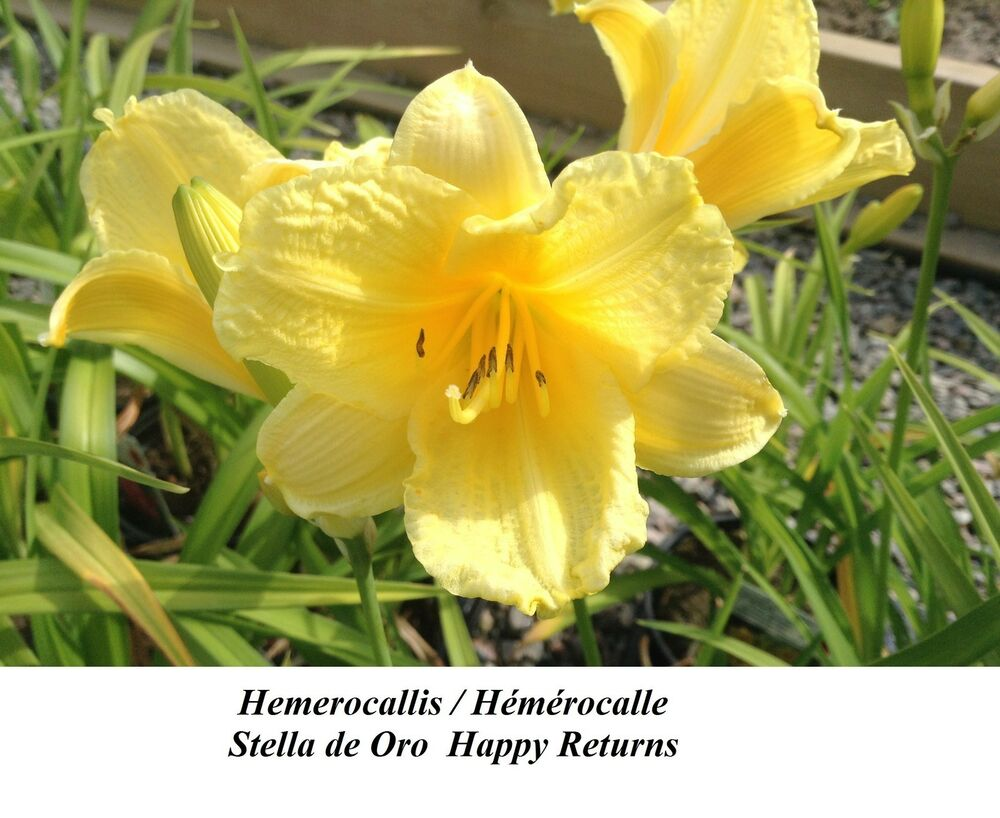 Piscin Hemerocallis Lemon Stella De Oro 15 Hybride Daylily Happy Return RÉpÉtion Piscin Ebay