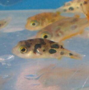 Freshwater Aquarium Fish on Indian Puffer For Live Freshwater Aquarium