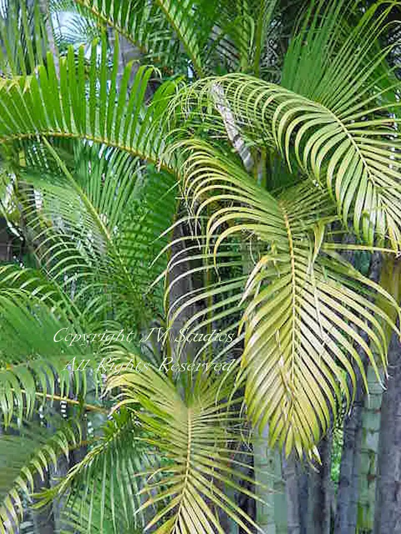 Butterfly Palm Madagascar Palm Areca Palm Chrysalidocarpus 5 Seeds Areca Palm Soft Willow Like Green Leaves Houseplant Easy To Grow Chrysalidocarpus Lutescens Overstock Price