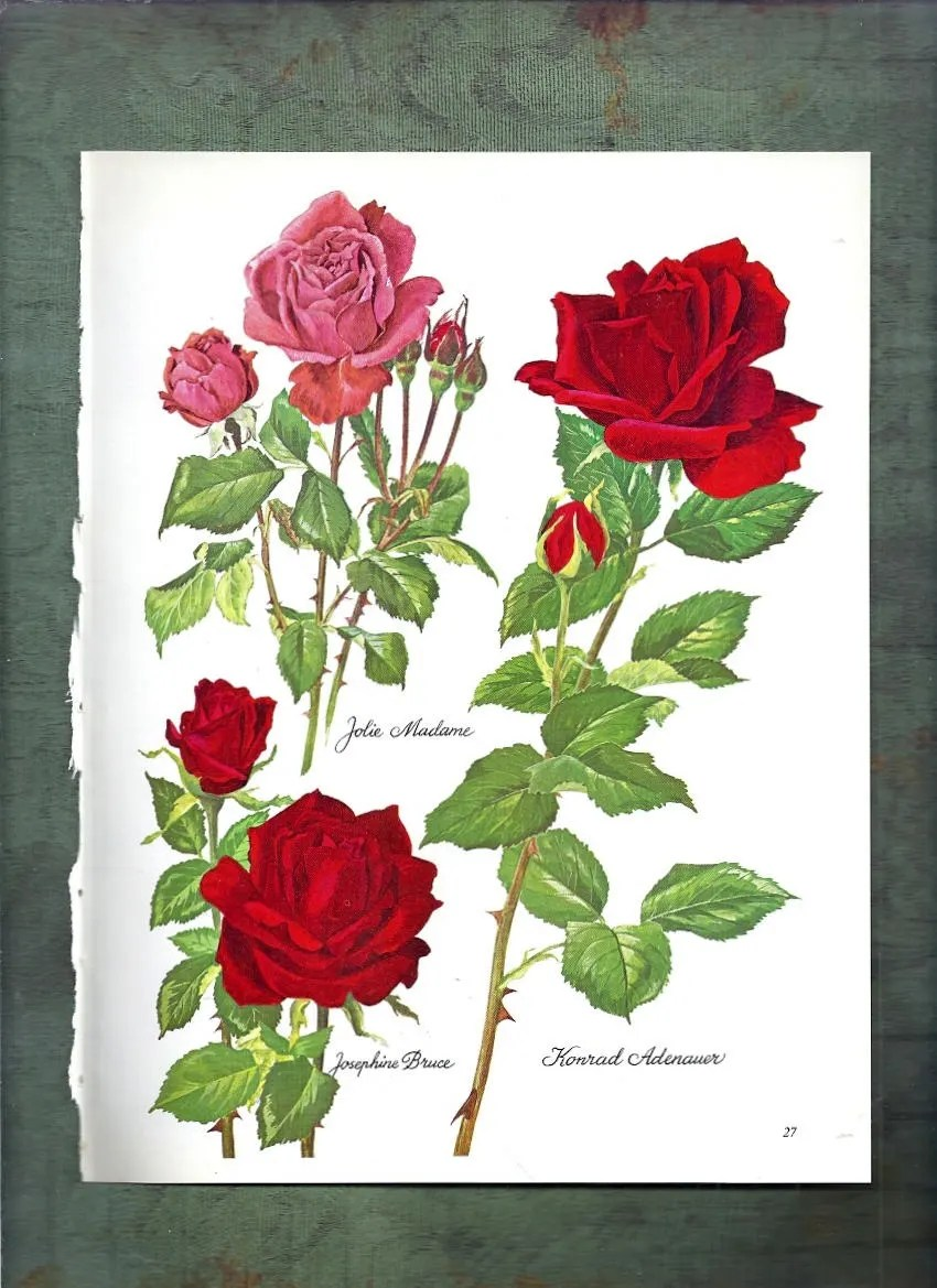 Adenauer Rose Roses Botanical Print 11 1966 Flower Picture 2 Sided Shabby Cottage Chic Frameable Wall Art Floral Illustration Pink Red Green