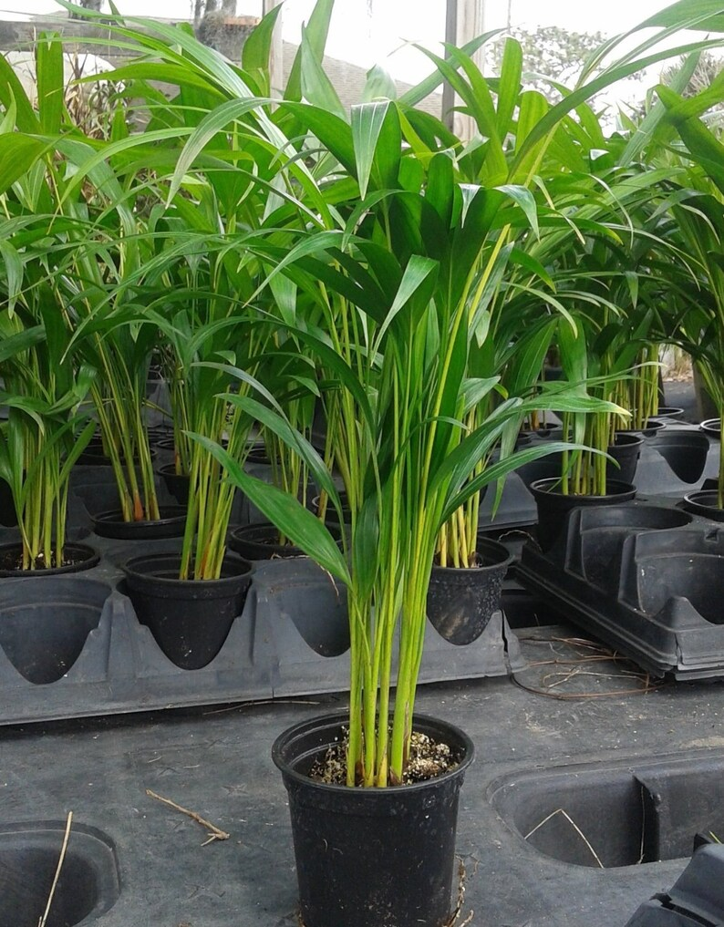Butterfly Palm Madagascar Palm Areca Palm Chrysalidocarpus Areca Palm Plant Dypsis Lutescens Easy To Grow Free Shipping
