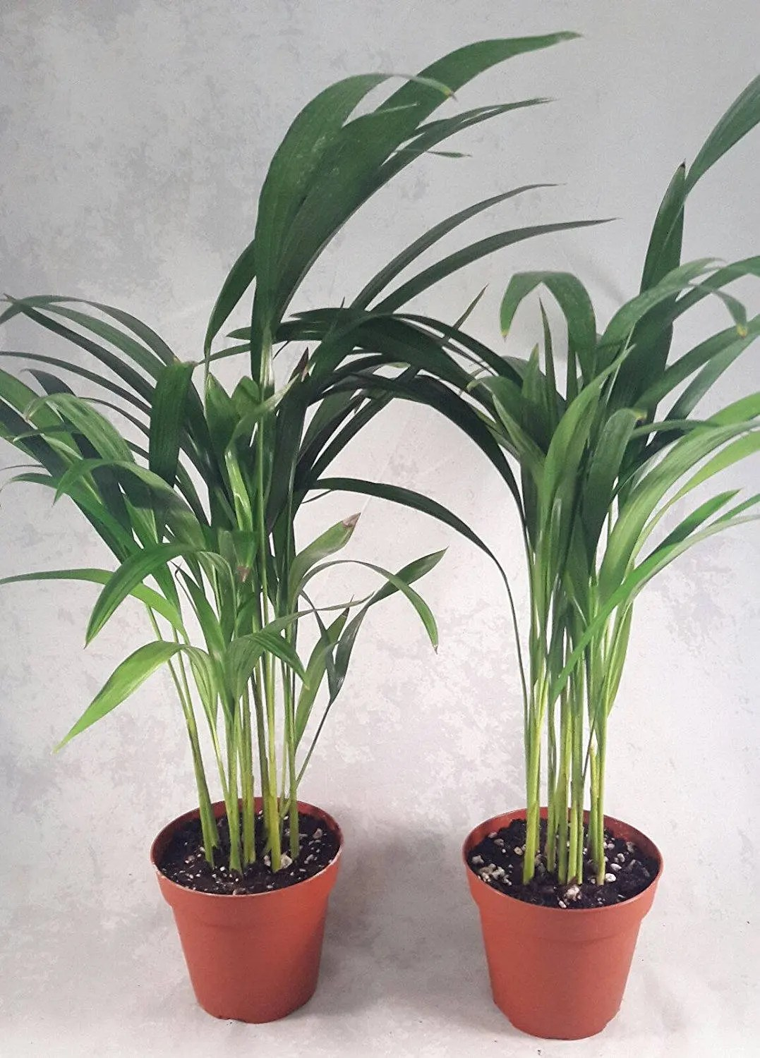 Artificial Chrysalidocarpus Lutescens Two Areca Palm Plant Dypsis Lutescens 4 Pot Easy To Grow
