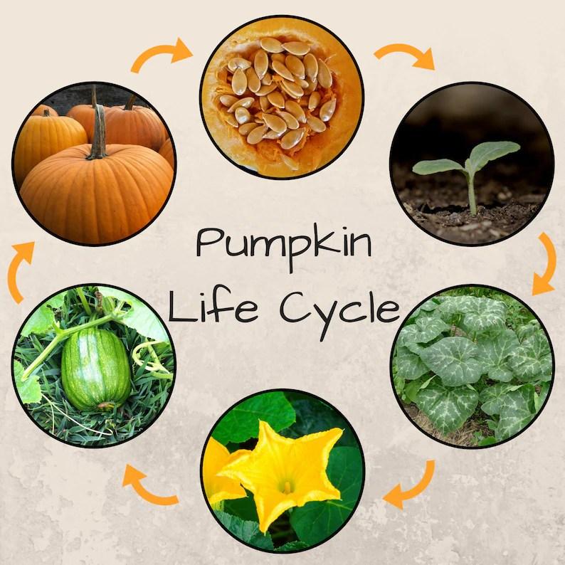 Montessori Pumpkin Life Cycle Download Etsy