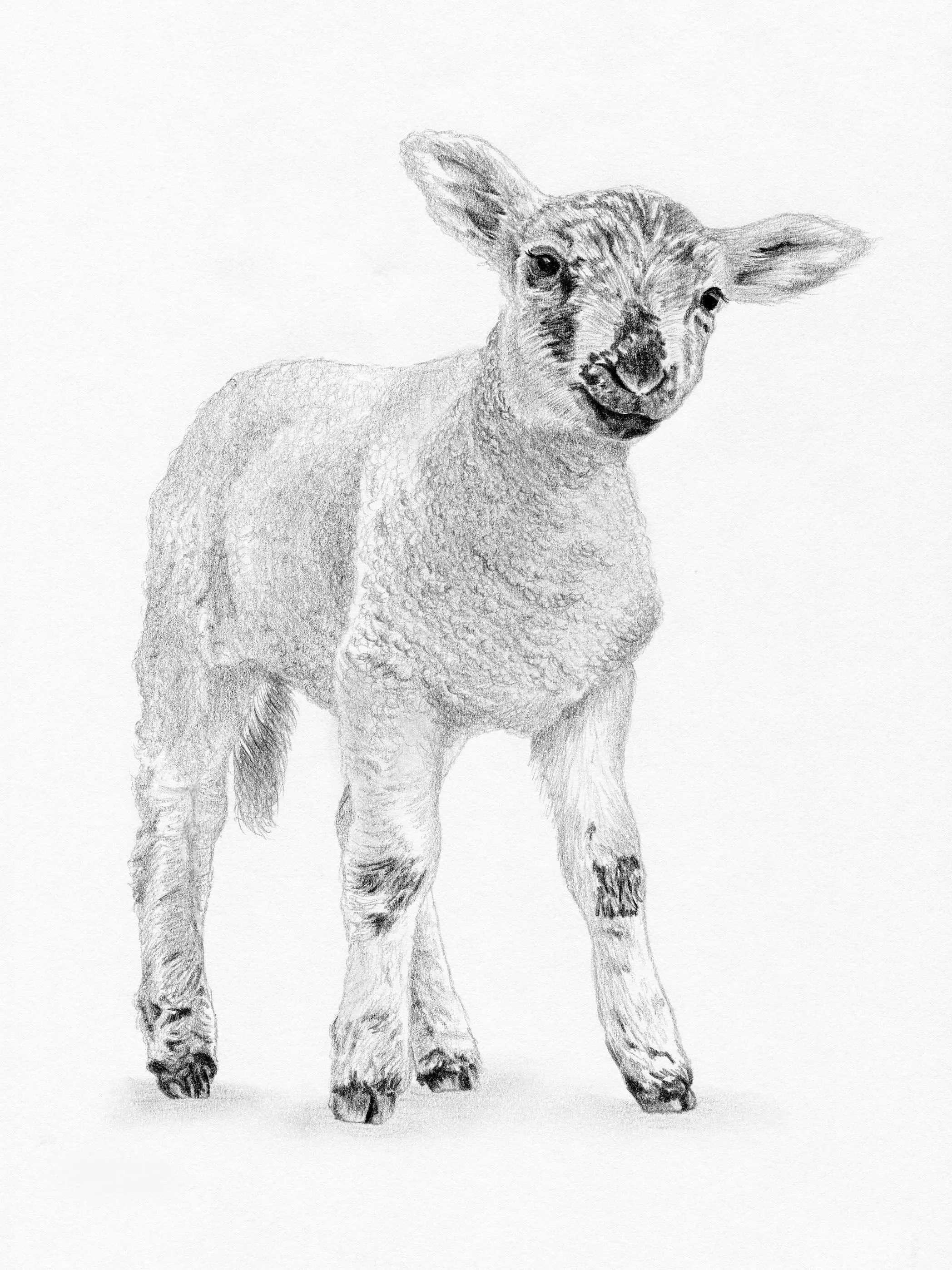 Baby Lamb Drawing Lamb Sheep Baby Art Pencil Drawing Print Signed By Uk