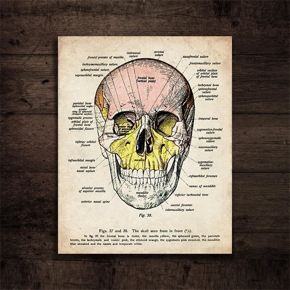 Human Head Anatomy Digital Download Diagram of Human Skull Etsy