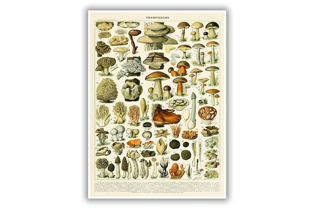 Mushrooms Poster Mushroom Print Fungus Species Diagram Etsy