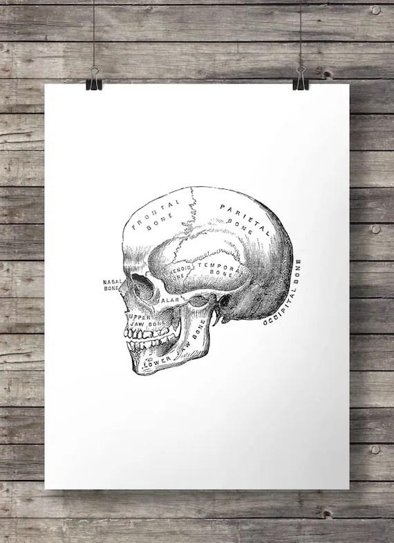 Antique human skull engraving diagram anatomy illustration