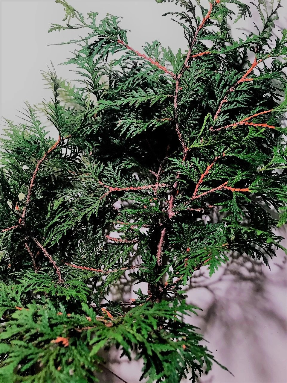 Thuja Y Cancer New 10 Freshly Cut Organic Thuja Branches For Art And Craft Projects Home Decor Wreath Making