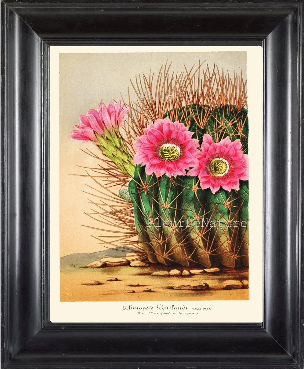 Serre 8x10 Botanical Print Horticole 8x10 Botanical Art Print 217 Beautiful Pink Cactus Flower Tropical Plant Antique Writing Room Decoration To Frame