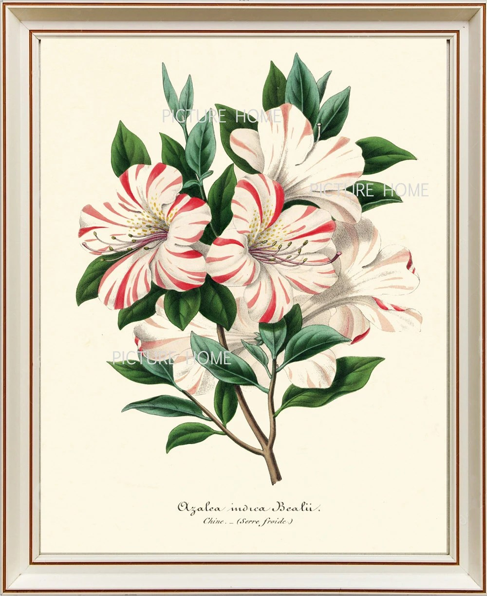 Serre 8x10 Botanical Print H7 Beautiful 8x10 Antique Azalea White Pink Red Flower Plant Bush Art Wall Art To Frame Blue Flowers Spring Garden Nature