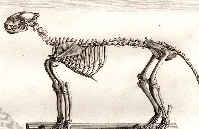 1761 Jaguar Skeleton Anatomy Antique Animal Print Copperplate Etsy