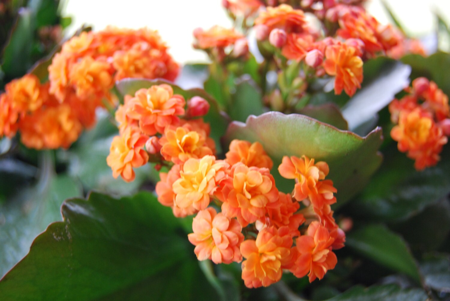 Lantana Kopen Kalanchoe Blossfeldiana Miniature Rose Flaming Katy Christmas Kalanchoe Pretty Flower Live Plant Easy Care