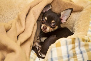 Black And Light Brown Chihuahua