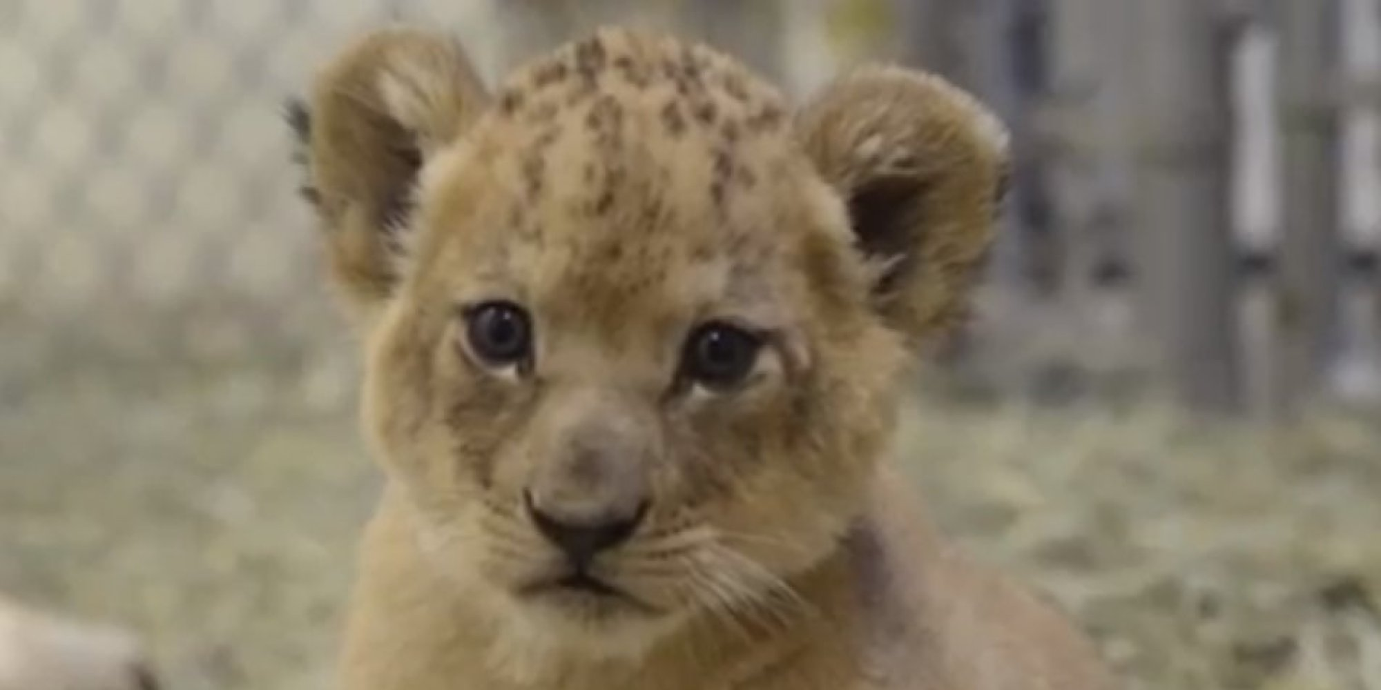 Tribal Cute Wallpaper These 5 Week Old Lion Cubs Playing In Their Den Will Cheer