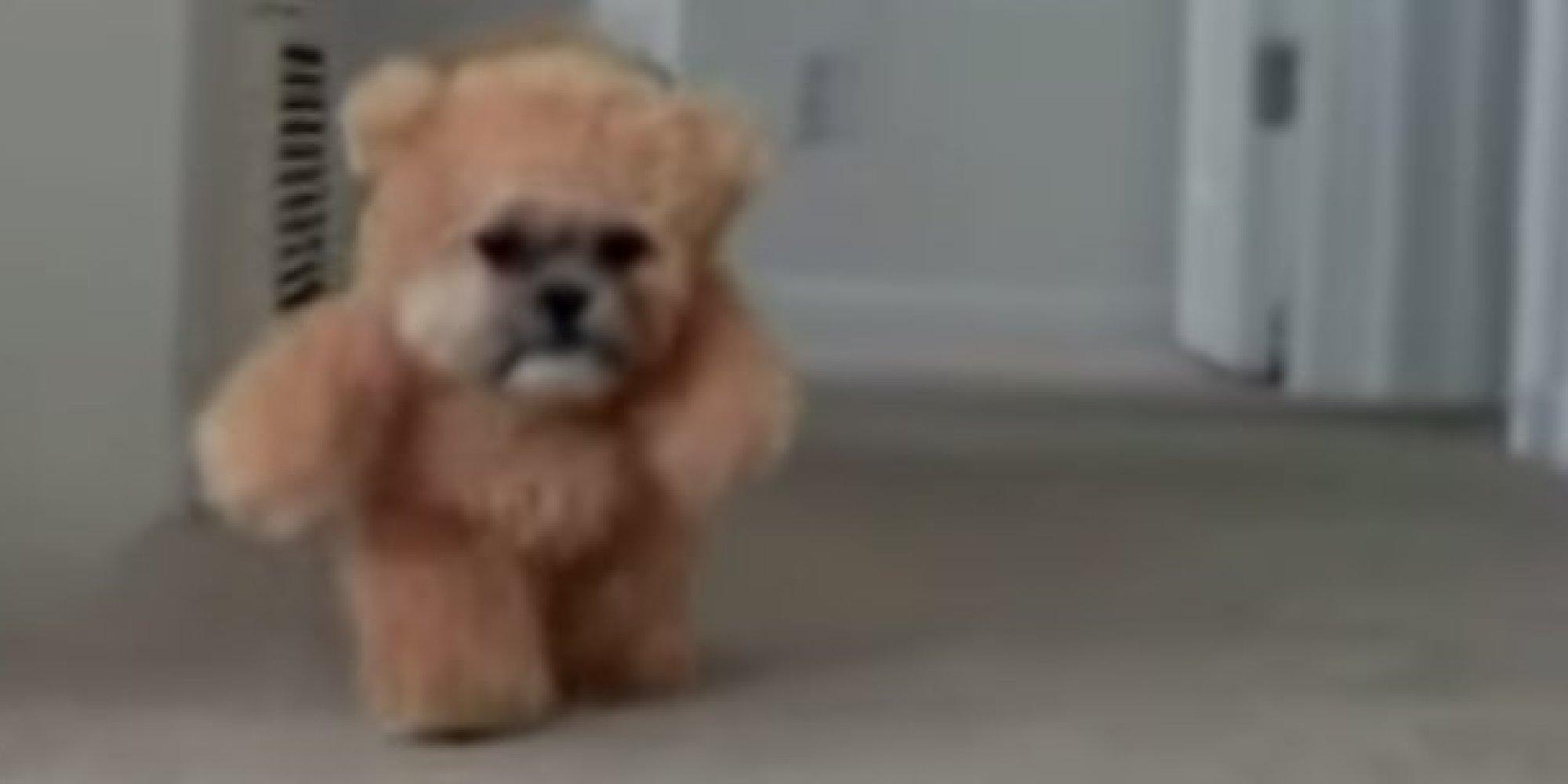 This Dog Named 'Munchkin' Is Half Teddy Bear, Half Shih