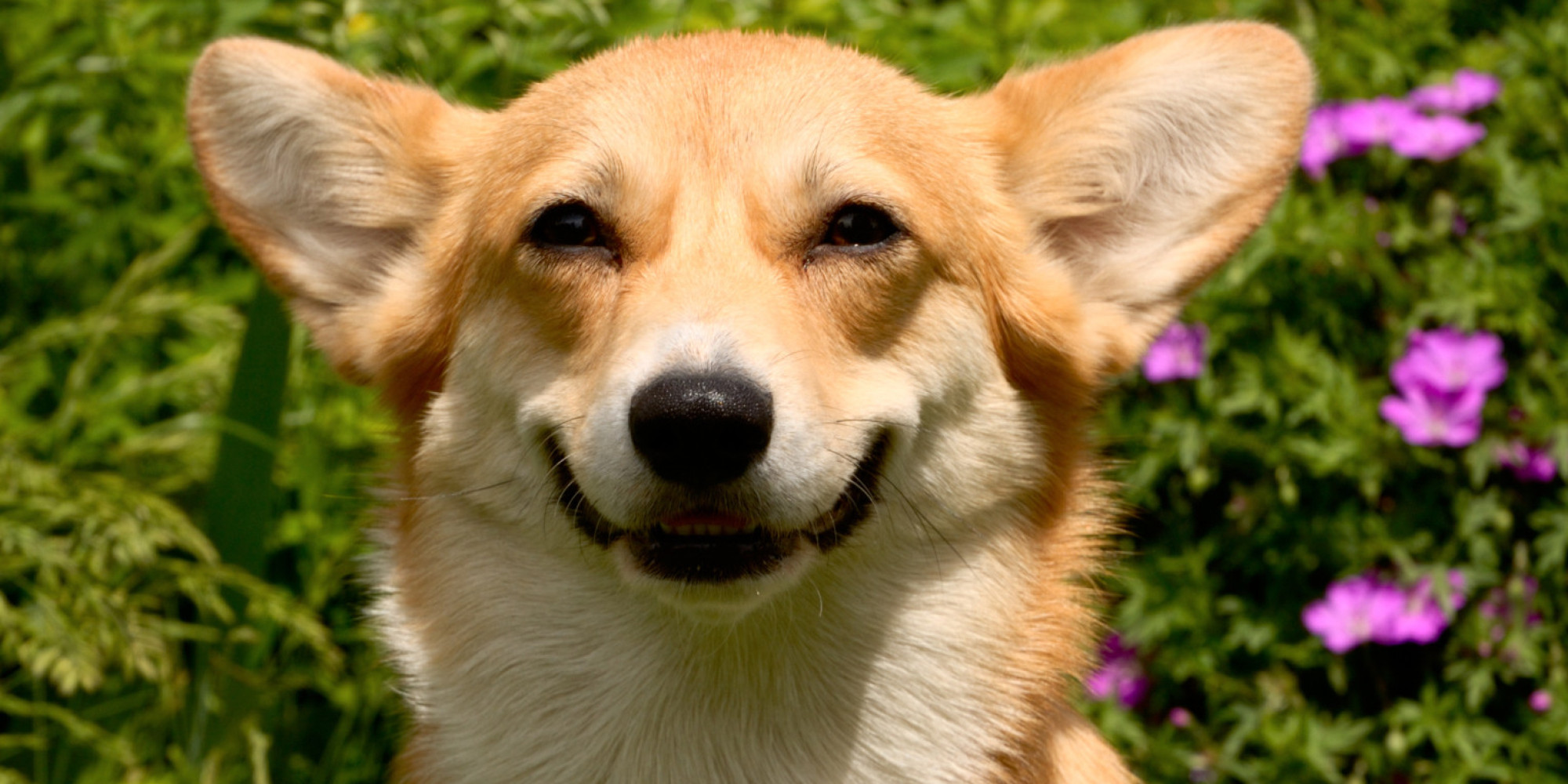 Cute Baby Puppy Pictures Wallpaper Bride On Craigslist Seeks Half A Dozen Corgis For Cutest