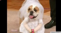 Kate Middleton Wedding Dress Now A Dog Halloween Costume ...