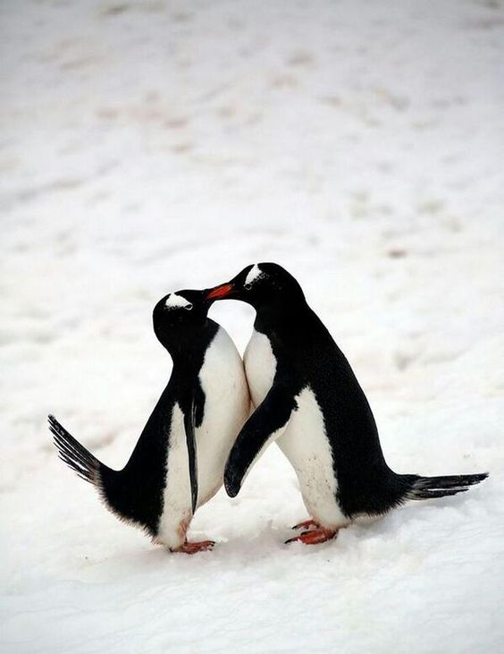 penguin Blank Template - Imgflip - penguin template