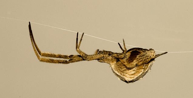 Descubren una araña que electrifica su tela para atraer a las presas