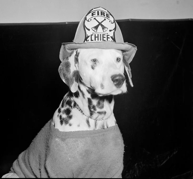 A Dalmatian dressed up like a firefighter, photo by Leslie Jones - firefighter resume