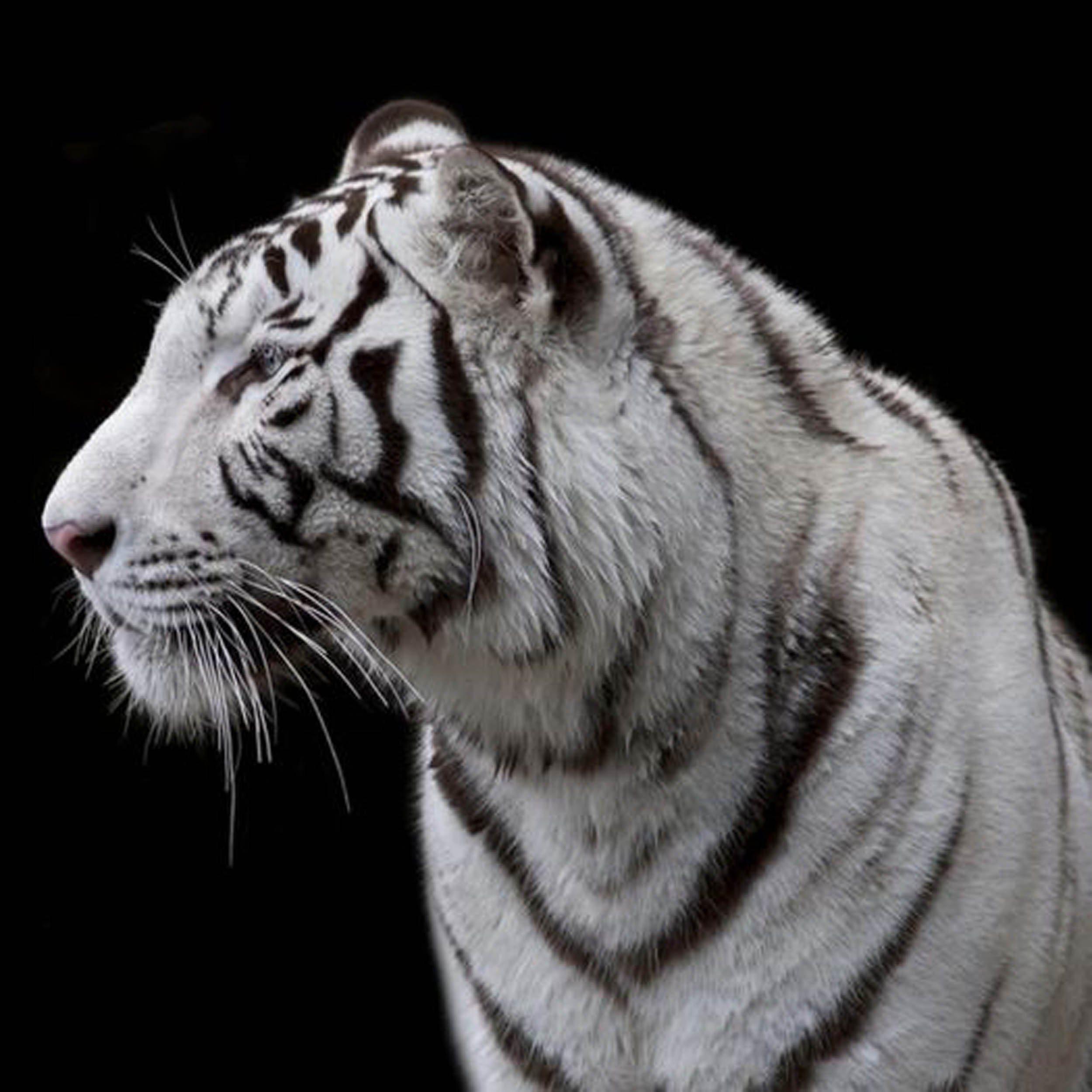 Tiger Schwarz Weiß Wallpaper | Photo Wallpaper Tiger Black ...