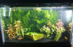 Small Of Java Moss For Sale