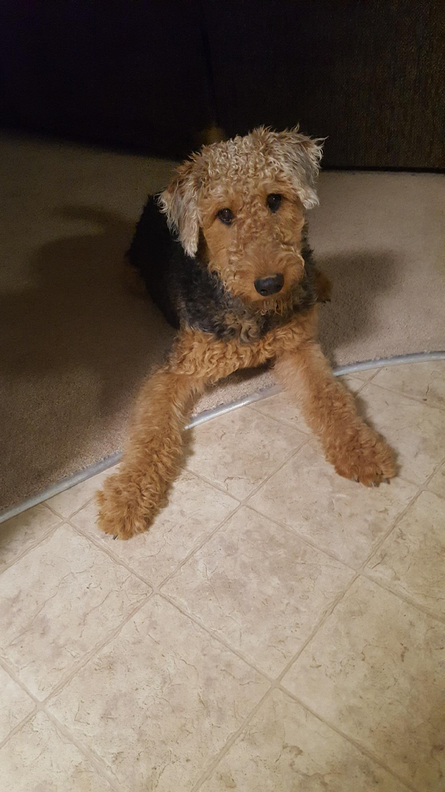 Airedale Terrier Stuffed Animal Cheaper Than Retail Price Buy Clothing Accessories And Lifestyle Products For Women Men