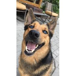 Genial A Doggo German Mix Makes A Doggo Rarepuppers German Shepherd Husky Mix German Shepherd Puppies S German Mix Makes