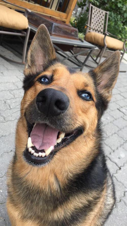 Medium Of Cute German Shepherd