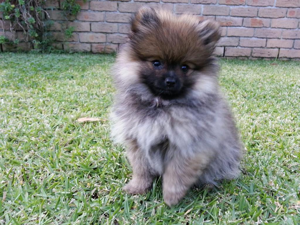 Fullsize Of Teddy Bear Dog