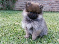 Small Of Teddy Bear Dog