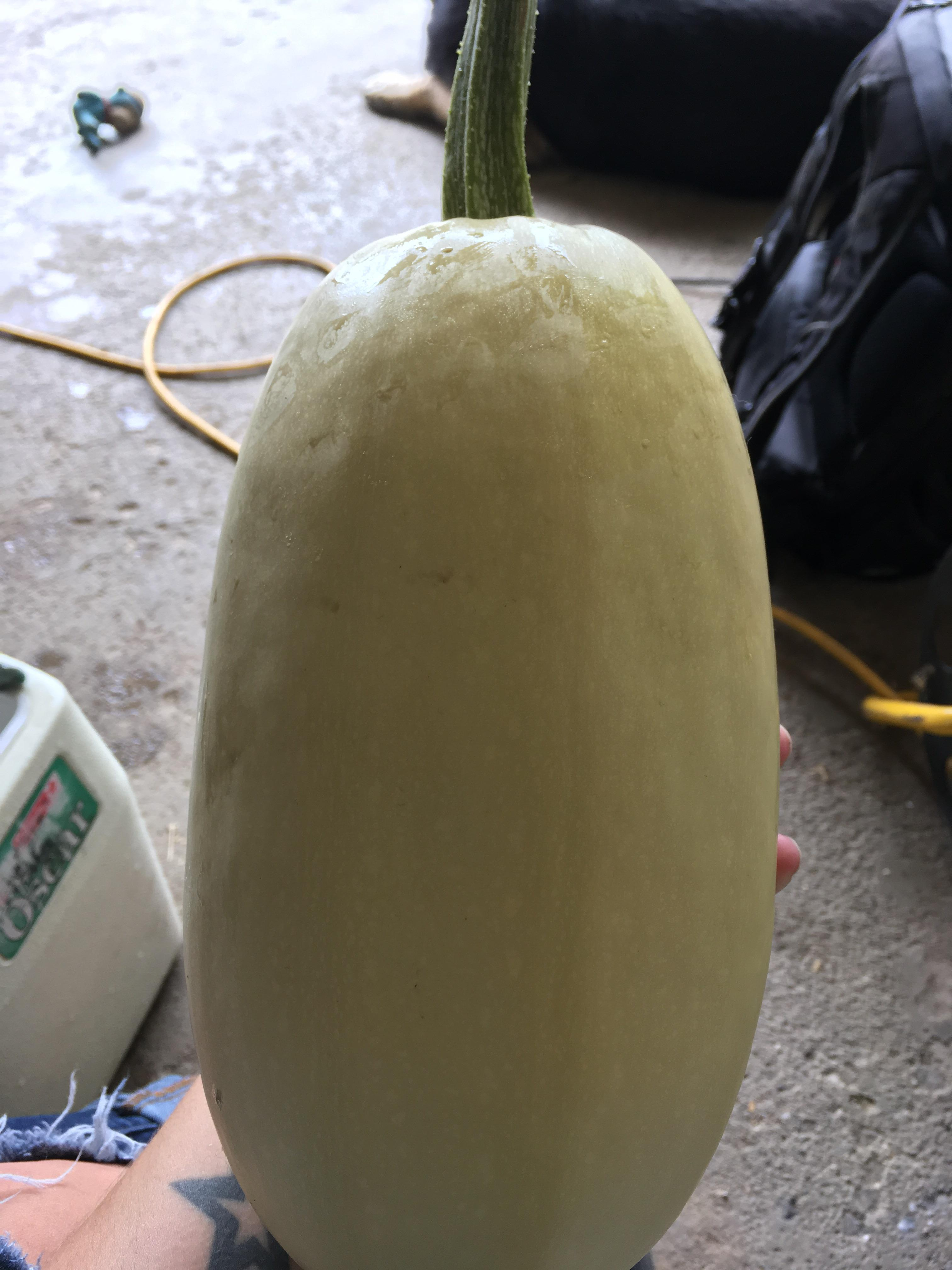 Modern Spaghetti Took Over Time Having A Our Pick Spaghetti When To Pick Spaghetti Squash From Vine When To Pick Summer Spaghetti Squash Time Having A Our Pick houzz-02 When To Pick Spaghetti Squash