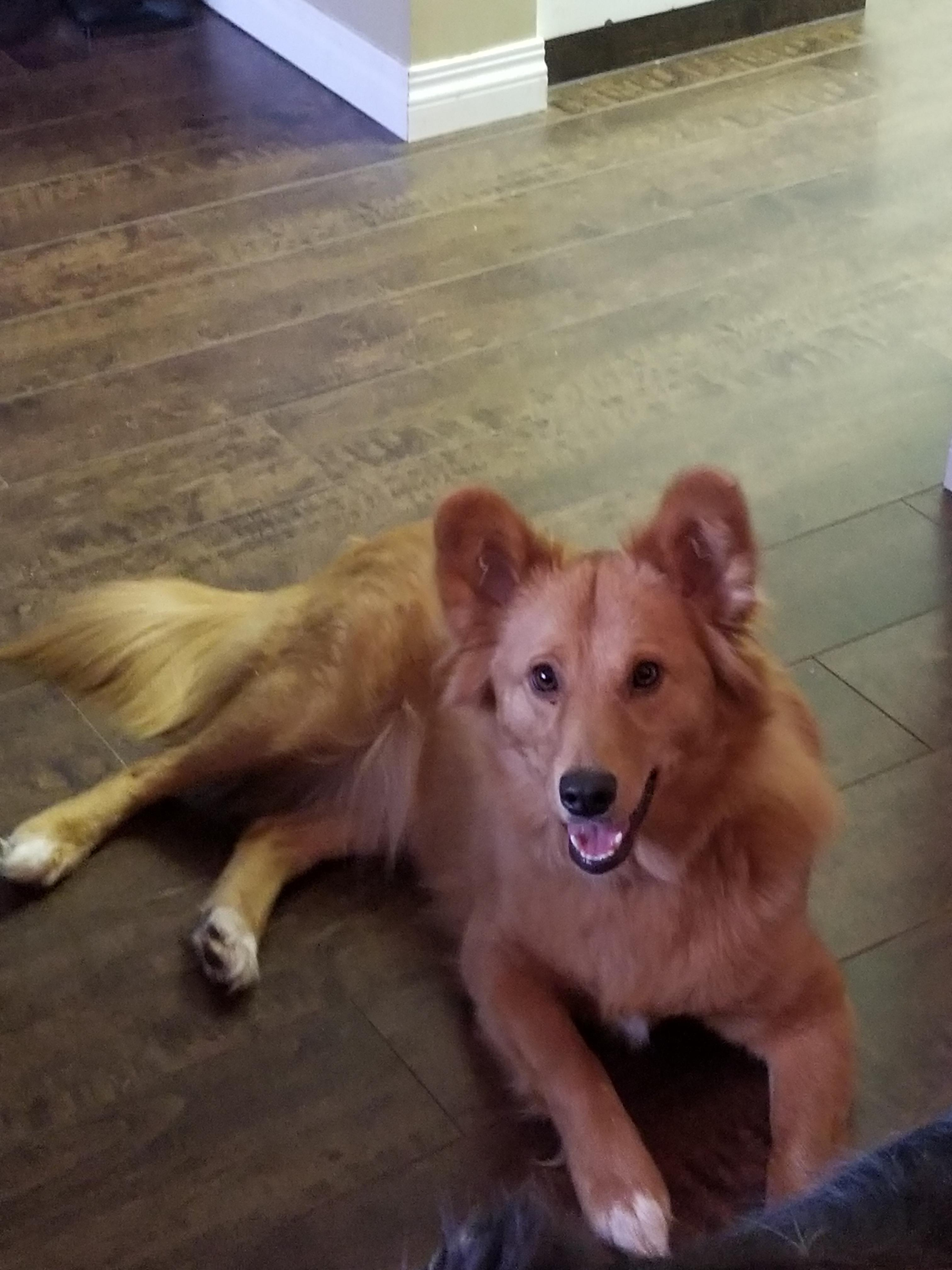 Groovy Adoption This Is Honey A Gen Retriever Corgi Mix This Is Honey A Gen Retriever Corgi Mix Aww Corgi Gen Retriever Mix Size Corgi Gen Retriever Mix bark post Corgi Golden Retriever