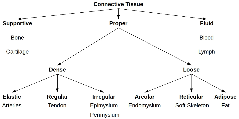 Connective tissue types Is this diagram I made correct ? More info